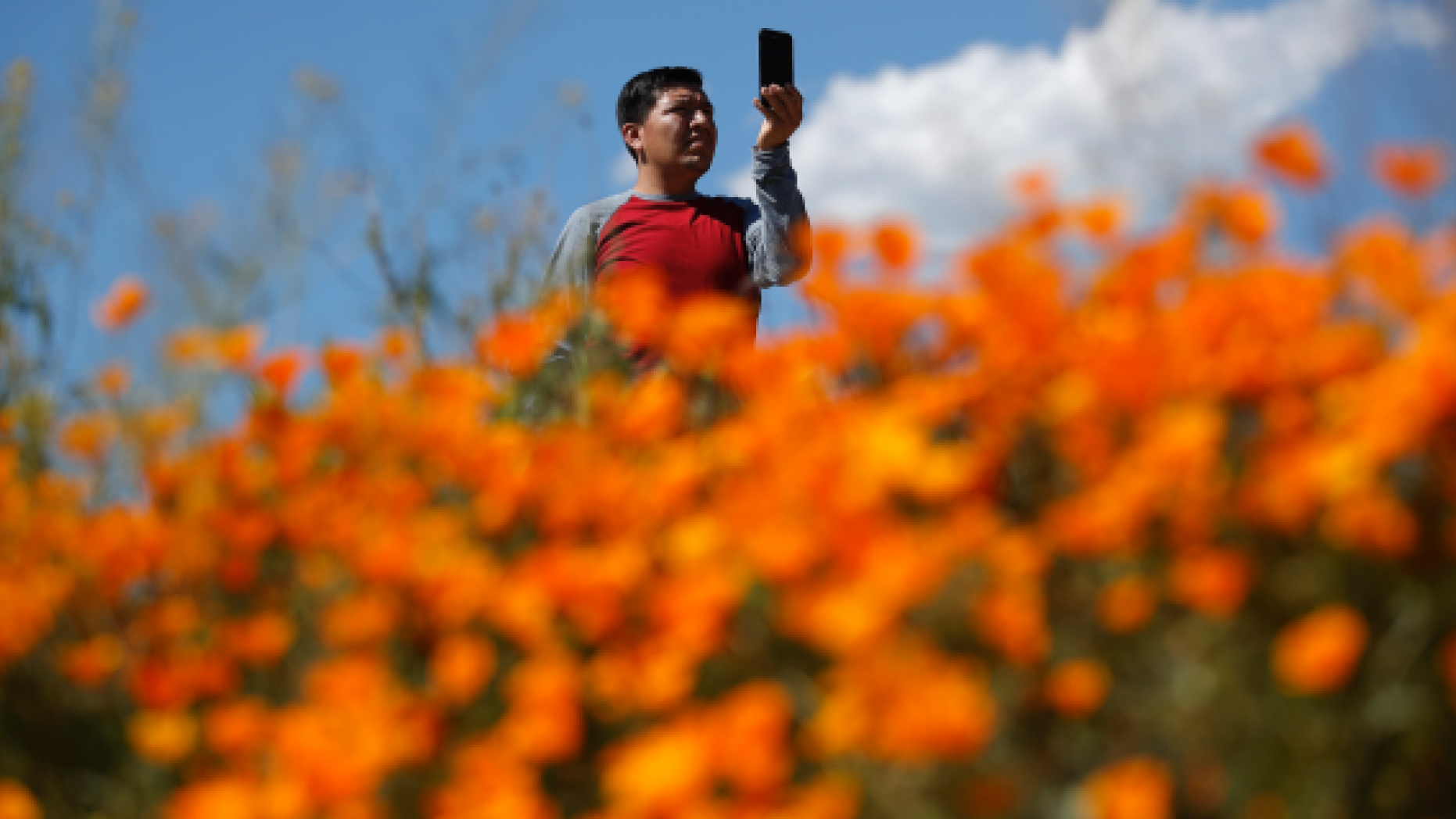 A man takes a picture among wildflowers in bloom Monday, March 18, 2019, in Lake Elsinore, Calif. About 150,000 people flocked over the weekend to see this year's rain-fed flaming orange patches of poppies lighting up the hillsides near Lake Elsinore. The crowds became so bad Sunday that Lake Elsinore officials  closed access to poppy-blanketed Walker Canyon. By Monday the #poppyshutdown announced by the city on Twitter was over and the road to the canyon was re-opened.  (AP Photo/Gregory Bull)