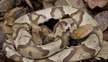 While copperhead snakes are venomous, they usually avoid humans, according to the Pennsylvania Fish and Boat Commission. (iStock)