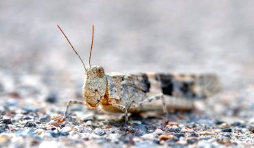 Las Vegas pizzeria offering grasshopper pie as insects invade city