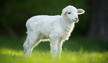 Award-winning lamb under investigation for performance-enhancing drugs