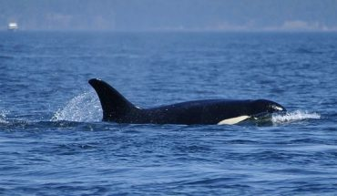 A group of fishermen were out looking for Yellowtail off the coast of San Diego when a curious orca broke off from its pod.