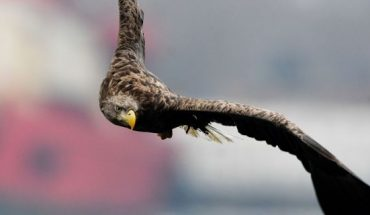 A white-tailed sea eagle flys over the Zolotoy Rog Bay in Russia.