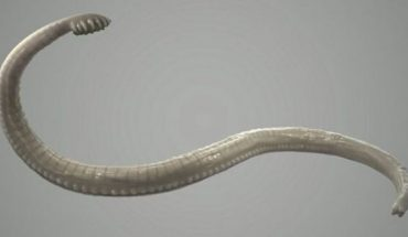 A tapeworm is a parasite that you can get if you eat the infected and undercooked meat of an animal.