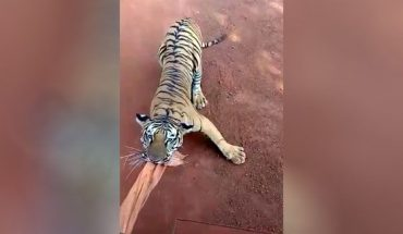 Footage shows tigers chasing tour bus full of safari goers