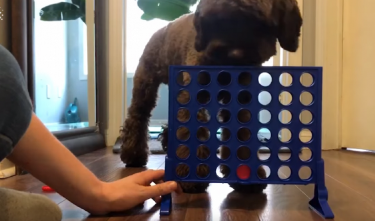 A viral video, uploaded to Instagram on Feb. 3, shows a cockapoo named Percy playing a round of the iconic Hasbro game with his owner. (Photo: Newsflare/Instagram @prancing_percy)