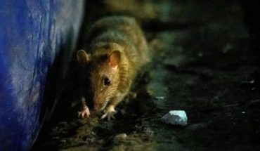A rat sniffs for food at Klong Toei wet market in Bangkok on April 10, 2020 as Thailand